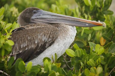 Juvenile Brown Pelican (Pelecanus occidentalis) perched in a mangrove - Galapagos 写真素材