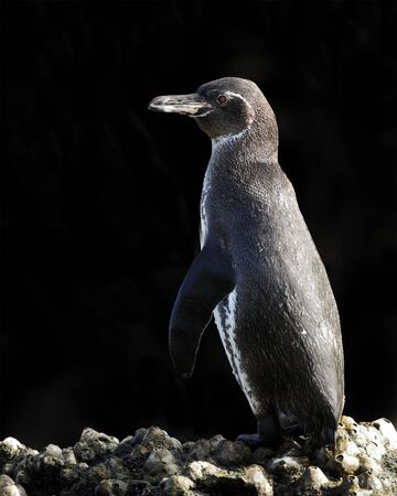 Galapagos Penguin (Spheniscus mendiculus) perched on some rocks - Isabella Island, Galapagos 写真素材