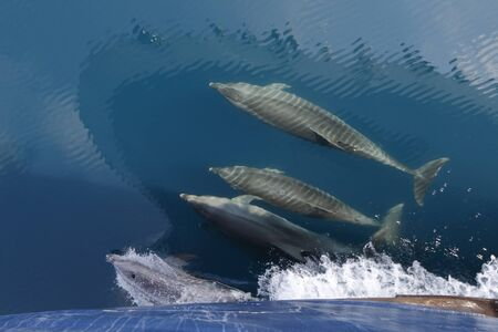 Common Dolphins (Delphinus sp) swimming in the wake of a cruise ship's bow - Galapagos Islands 写真素材