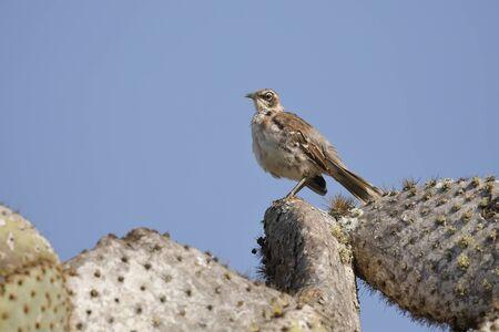 Galapagos Mockingbird (Mimus parvulus) perched on a prickly pear cactus tree - Santa Cruz Island, Galapagos