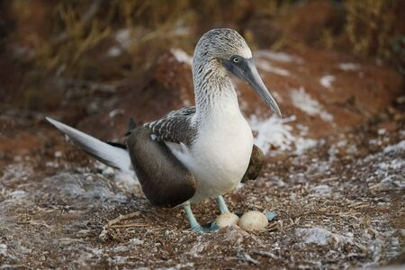 Blue-footed Booby (Sula nebouxii) with a pair of eggs - Galapagos Islands