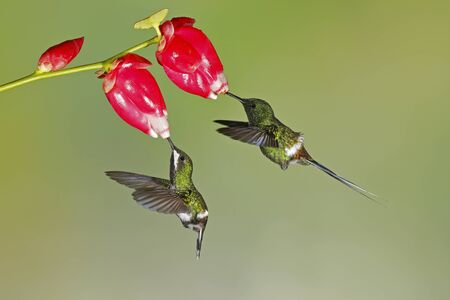 Pair of Green Thorntails (Discosura conversii) feeding on flowers in the tropical forest of Ecuador.  The male with its longer tail is on the right.