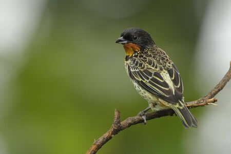 Rufous-throated Tanager (Tangara rufigula) - Ecuador