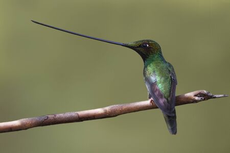 Male Sword-billed Hummingbird (Ensifera ensifera) perched on a twig in the mountain forest of Ecuador