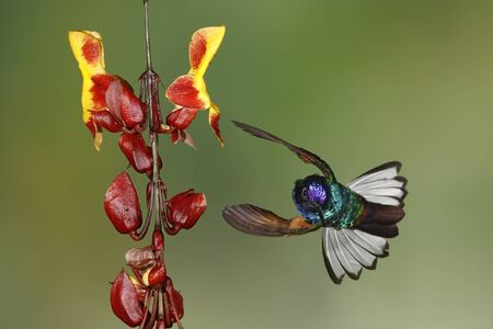 Velvet-purple Coronet (Boissonneaua jardini) in flight - Ecuador
