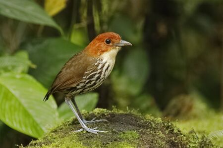 Chestnut-crowned Antpitta (Grallaria ruficapilla) foraging in a tropical forest - Ecuador 스톡 콘텐츠 - 136317371