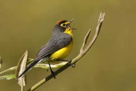 Male Spectacled Whitestart (Myioborus melanocephalus) singing from a perch - Ecuador