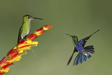 Female Green-crowned Brilliant (Heliodoxa jacula) perched on a flower with a Male Green-crowned Woodnymph (Thalurania fannyi) in flight - Ecuador