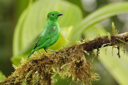 Glistening Green Tanager (Chlorochrysa phoenicotis) perched on an branch covered in epiphytes in a tropical forest - Ecuador