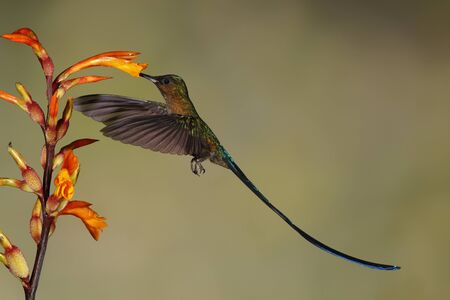 Male Violet-tailed Sylph (Aglaiocercus coelestis) feeding at a Heliconia flower - Ecuador