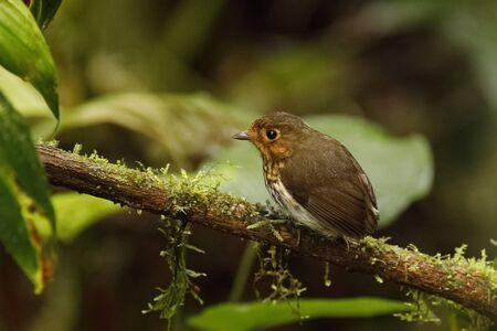 Ochre-breasted Antpitta (Grallaricula flavirostris) - Ecuador