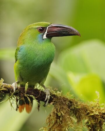 Chestnut-rumped Toucanet (Aulacorhynchus haematopygus) perched on an branch covered in epiphytes - Ecuador