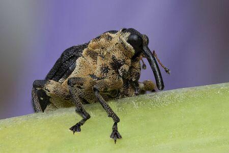 Iris Weevil (Mononychus vulpeculus) on a blue flag iris - Pinery Provincial Park, Ontario, Canada