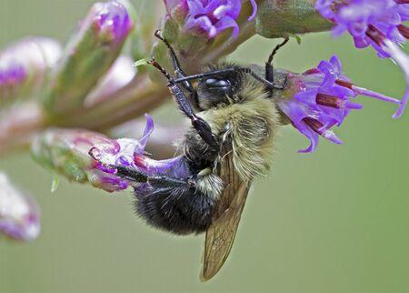 Bumblebee on a Dense Blazing Star flower - Ontario, Canada