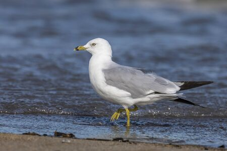 Ring-billed Gull (Larus delawarensis) foraging on a Lake Huron beach - Ontario, Canada