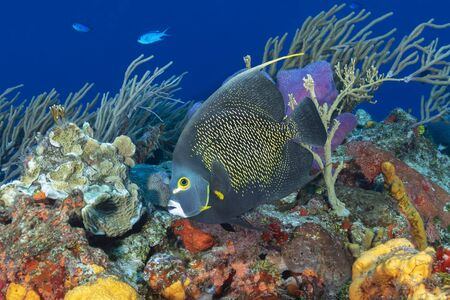 French Anglefish (Pomacanthus paru) swimming over a coral reef - Cozumel, Mexico 写真素材