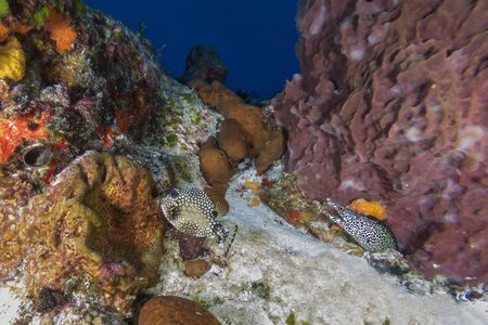 A Smooth Trunkfish swims past a Spotted Moray - Cozumel, Mexico 写真素材