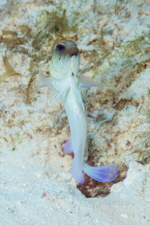 Yellowhead Jawfish (Opistognathus aurifrons) hovering over its burrow - Cozumel, Mexico 스톡 콘텐츠 - 138426178