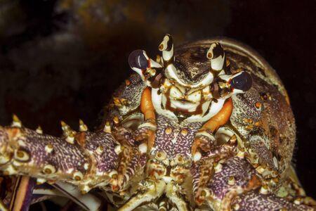 Closeup of a Caribbean Spiny Lobster (Panulirus argus) - Cozumel