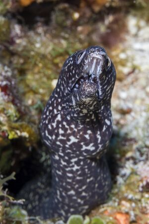 Spotted Moray (Gymnothorax moringa) on a coral reef - Cozumel 免版税图像