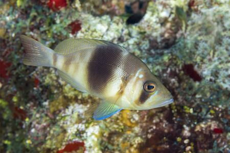 Barred Hamlet (Hypoplectrus puella) swimming over a coral reef - Cozumel