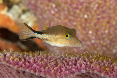 Caribbean Sharpnose-Puffer (Canthigaster rostrata) swimming in a sponge - Cozumel