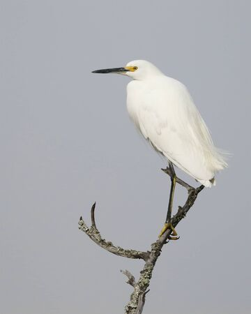 Snowy Egret (Egretta thula) perched on a dead branch - Jekyll Island, GA