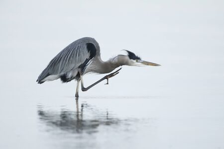 Great Blue Heron (Ardea herodias) scratching its head 写真素材 - 139152045