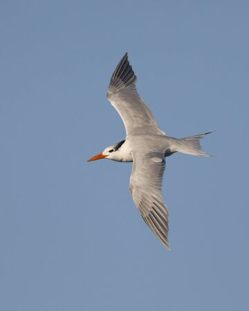 Royal Tern (Thalasseus maximus) in winter plumage flying against a blue sky