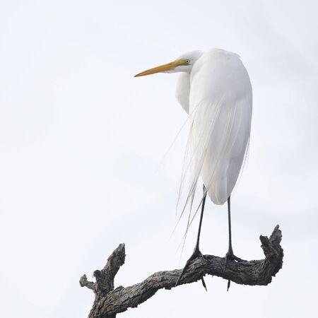 Great Egret (Ardea alba) perched on a dead branch - Jekyll Island, GA