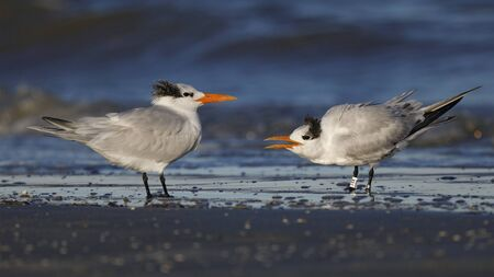 Royal Terns (Thalasseus maximus) in winter plumage courting - Jekyll Island, GA 写真素材 - 140766331