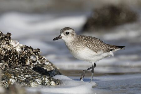Black-bellied Plover (Pluvialis squatarola) foraging on an oyster bed in winter - Jekyll Island, GA