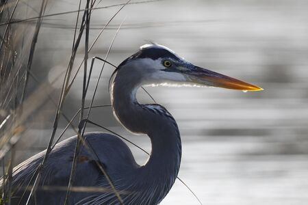 Great Blue Heron (Ardea herodias) stalking its prey in a coastal marsh - Jekyll Island, GA
