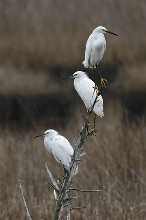 Group of three Snowy Egrets (Egretta thula) perched on a branch - Jekyll Island, GA 스톡 콘텐츠 - 139151977