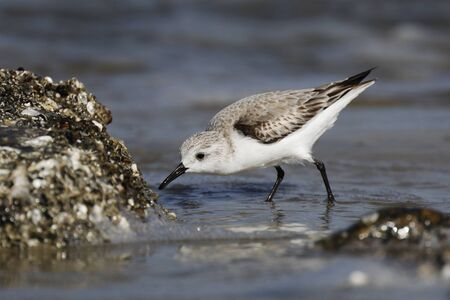 Sanderling (Calidris alba) foraging on an oyster bed in winter - Jekyll Island, GA 免版税图像