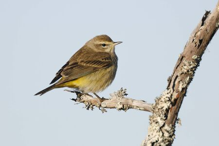 Palm Warbler (Setophaga palmarum) in winter plumage perched on a dead branch -  Jekyll Island, GA 스톡 콘텐츠 - 140766335