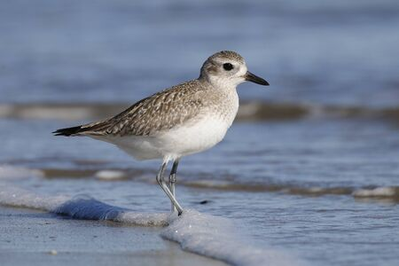 Black-bellied Plover (Pluvialis squatarola) foraging in wnter on a Georgia beach