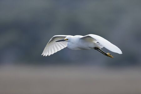 Snowy Egret (Egretta thula) in flight over a saltwater marsh 写真素材 - 140766338