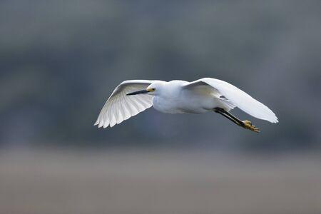 Snowy Egret (Egretta thula) in flight over a saltwater marsh 免版税图像