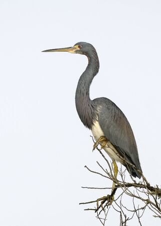Tricolored Heron (Egretta tricolor) perched on a dead branch 写真素材 - 139151923