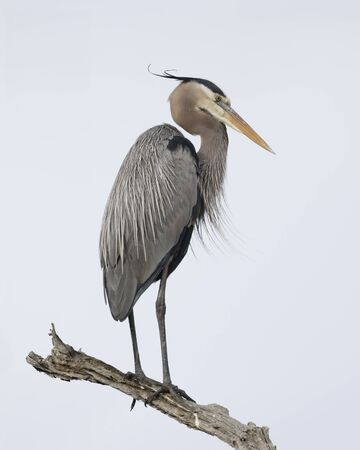 Great Blue Heron (Ardea herodias) perched on a dead branch - Jekyll Island, GA 스톡 콘텐츠 - 139151968