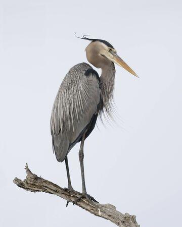 Great Blue Heron (Ardea herodias) perched on a dead branch - Jekyll Island, GA 免版税图像