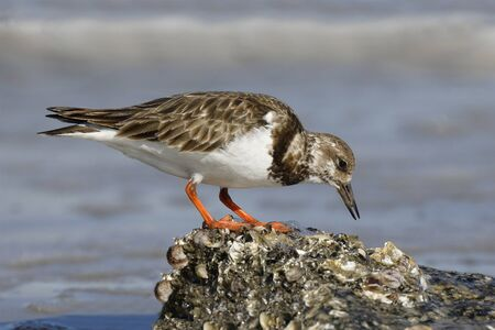 Ruddy Turnstone (Arenaria interpres) foraging on an oyster bed in winter - Jekyll Island, GA