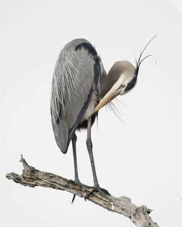 Great Blue Heron (Ardea herodias) preening its feathers - Jekyll Island, GA 免版税图像