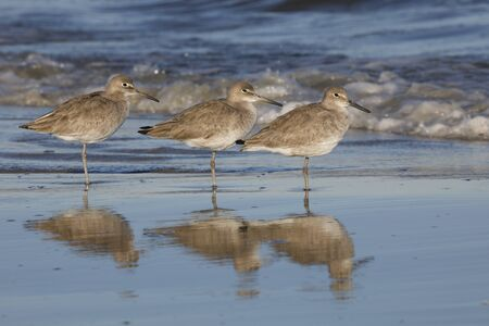 Group of three Willets (Tringa semipalmata) resting on a beach in winter - Jekyll Island, GA
