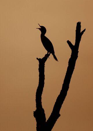 Double-crested Cormorant (Phalacrocorax auritus) yawning at sunrise - Jekyll Island, GA 免版税图像
