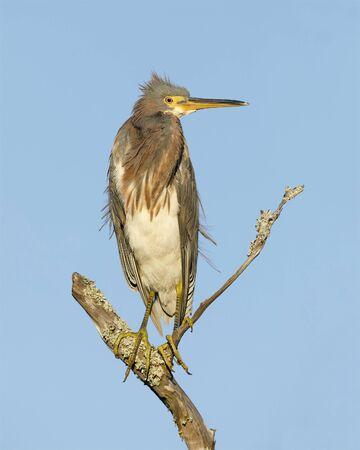 Tricolored Heron (Egretta tricolor) perched on a dead branch - Jekyll Island, GA