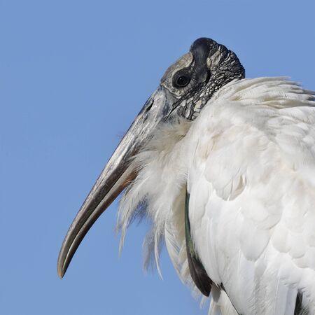Closeup of a Wood stork (Mycteria americana) - Jekyll Island, GA