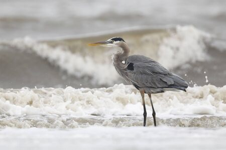 Great Blue Heron (Ardea herodias) searching for prey in the Atlantic surf - Jekyll Island, GA 写真素材 - 140317322
