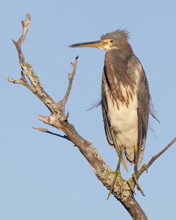 Tricolored Heron (Egretta tricolor) perched on a dead branch - Jekyll Island, GA 스톡 콘텐츠 - 140317275